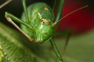 adult female bush cricket by macrojunkie