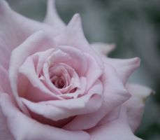 Pale pink rose by Naxal