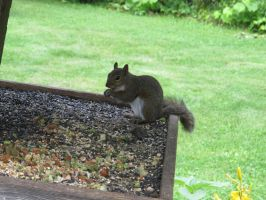Gray Squirrel 2 by Windthin