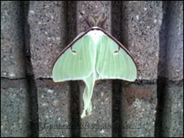 Luna Moth by sparx222