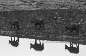 Buffalo reflections by CumbriaCam