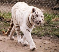 White Tiger Stock 2 by HOTNStock