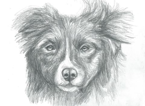 border collie by BlueBiscuitss