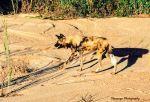African Wild Dog 2 by Okavanga