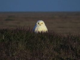 Snowy Owl by Glacierman54