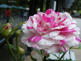 Cotten Candy Rose by christiline88