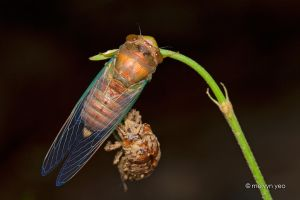 Molted Cicada by melvynyeo
