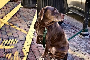 Brown lab by Tyler007