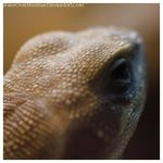 Chuckwalla 001 by ShineOverShadow