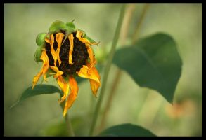 wilted by fuamnach