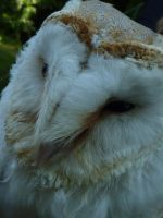 Barn Owl Face by happinessdragon