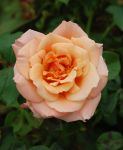 Perfect Rose by JRCPhotographyStudio