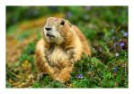 Prairie Dog II by JRose-Photography