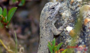 Eastern Fence Lizard by sioranth