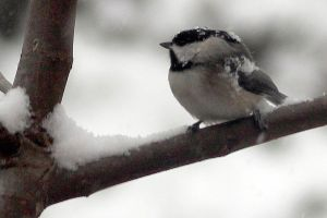 Chickadee in the Snow by faolruadh