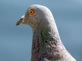 Close Up Of Rock Dove by Rice3