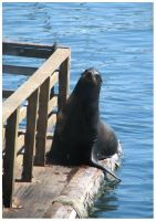 Sea Lion by LaughingSquid