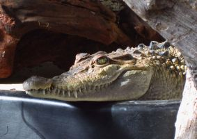 Philippine Crocodile Closeup by ascenciok