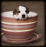 Teacup Pup by TimelessImages