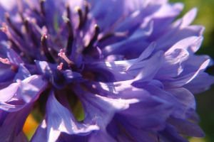 Purple flower macro by NorbertKocsis