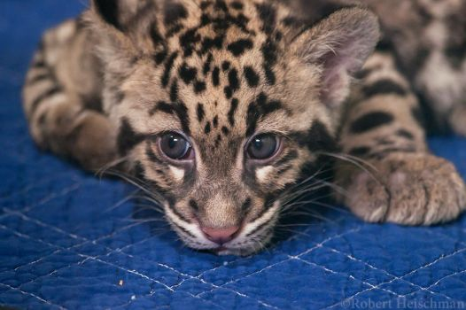 CLouded Leopard Cub 8062 by robbobert