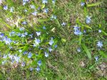 Little blue flowers that grow by vonderwall