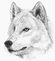 wolf sketch by hibbary