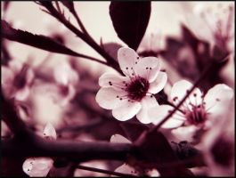 Sandcherry Blossom by Stock7000