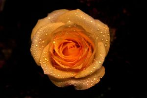 O, Yellow Rose by Shanibelle