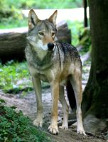 Timber Wolf by bluesgrass