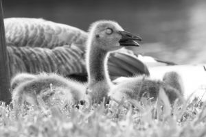 Gosling by williamdaros