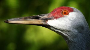 Sandhill Crane Wallpaper by 1ASP1