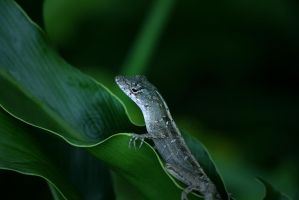 The Green Anole by manticor
