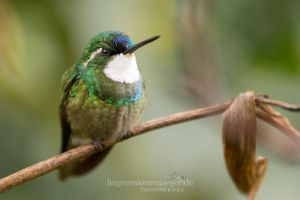 White-throated mountaingem by chriskaula