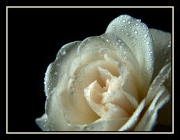 White Rose..... by Pjharps