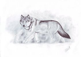 Arctic Loner - Timber Wolf by Drag0n-Mistr3ss