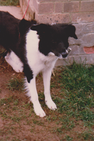 Cleo a young collie 1 by WhippetWild