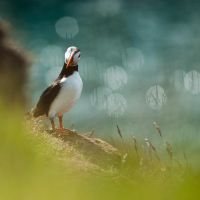 Icelandic puffin I by Goro38