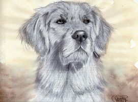 Golden Retriever Charly by Cindy-R