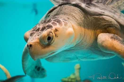 Green Sea Turtle by NicoletteWork