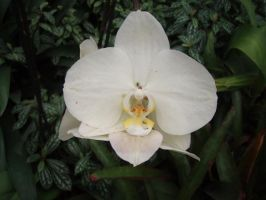 White orchid by SkymoneStock