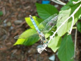 Dragonfly at Canobie Lake by GoodGirl-BadGirl