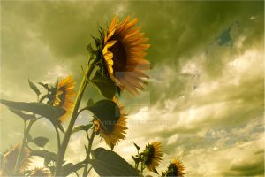 Sunflowers by violety