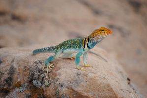Collared Lizard by PutPutJunior