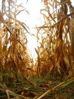 Corn Field by DeppObession10
