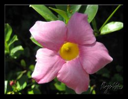 Pink flower with yellow center by MLGn00beater