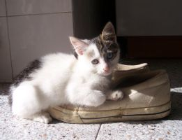 A cat in a shoe by baroquedoll