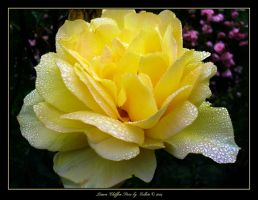 Lemon Chiffon Rose 051 by Eolhin