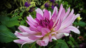 DAHLIA 8 by BELLESYMPHORINE