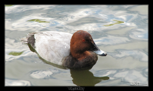 Pochard by MrDeKat